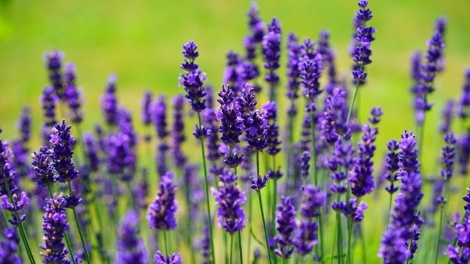 Lavender Aromatic plant with high potential in J&Ks agribusiness- Kashmir News - Digpu News