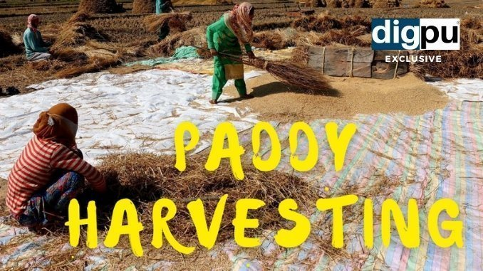 Kashmir Exclusive - Paddy harvesting in Kashmir - Digpu News
