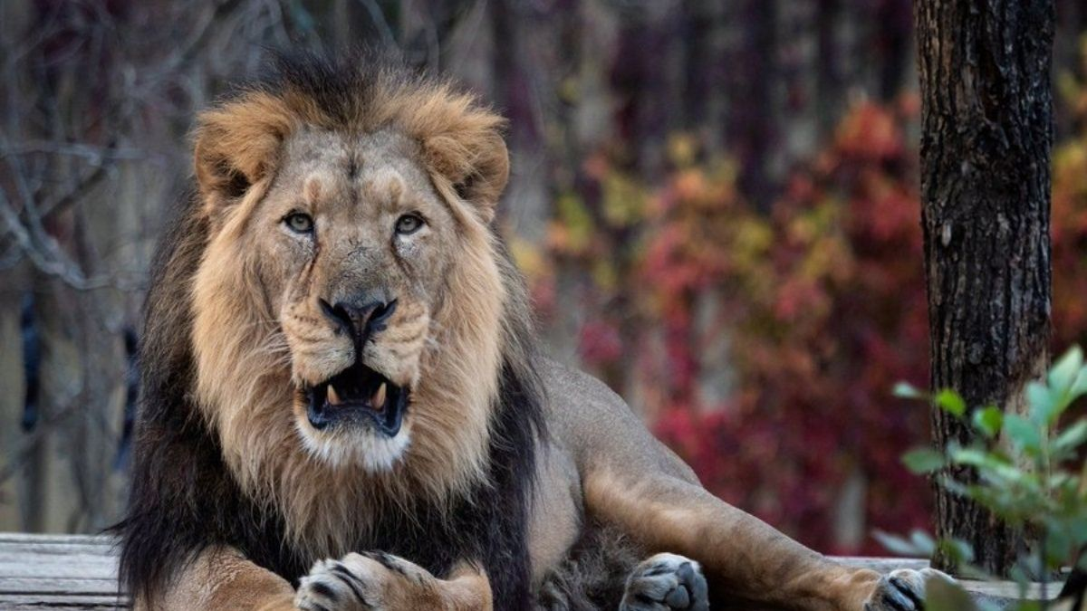 Eight Asiatic lions housed in Hyderabad zoo infected with COVID-19