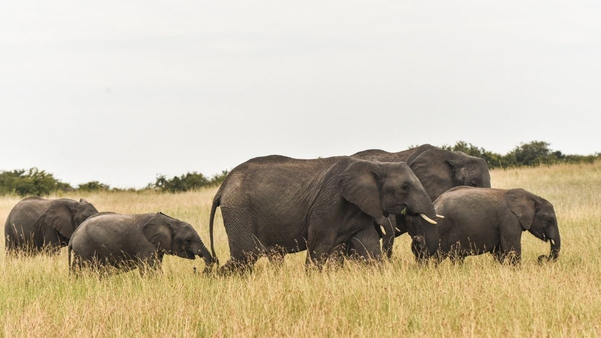 Elephants dilate their nostrils to create more space in their trunks Research (1)