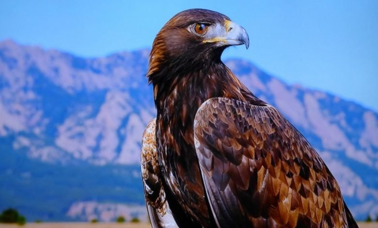 Study says Golden eagles may use turbulence to accelerate (2)
