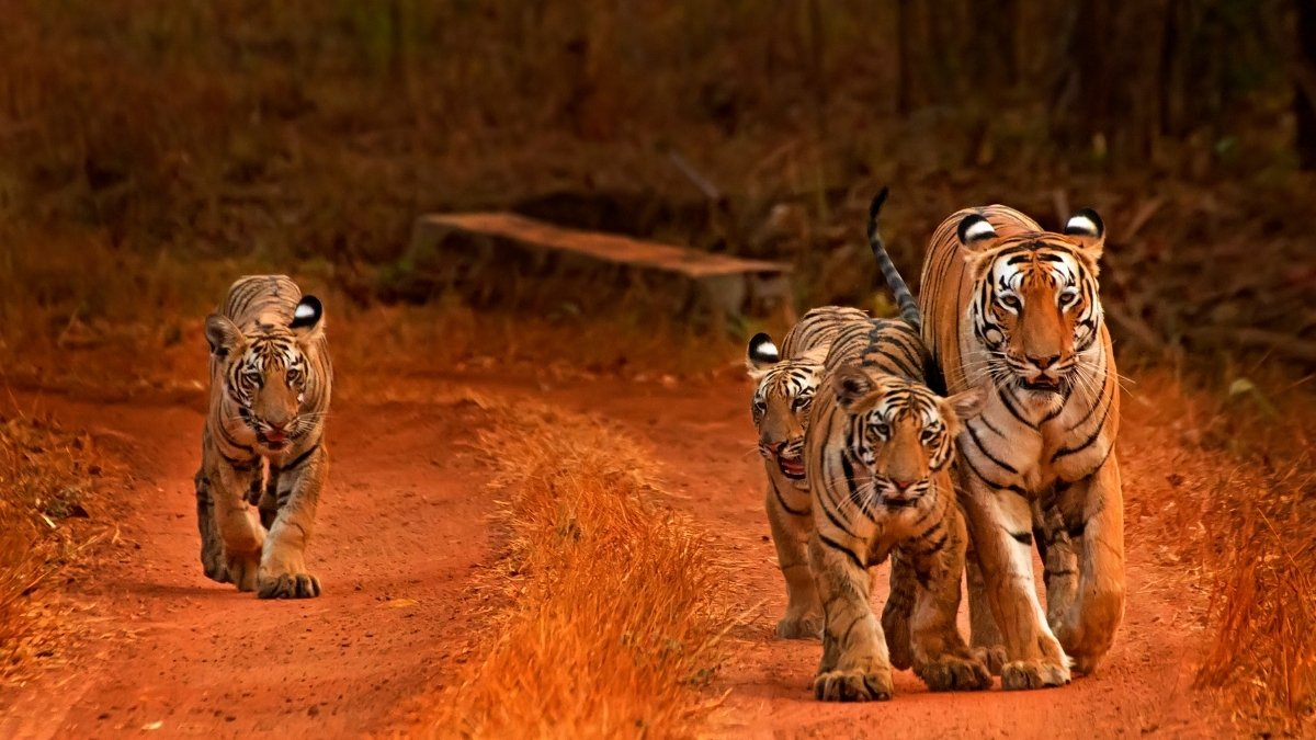 International Tiger Day About 95% of the Tiger Population has Dropped Over Last 150 years
