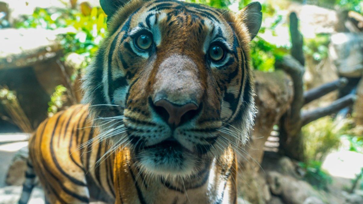International Tiger Day: About 95% of the Tiger Population has Dropped Over Last 150 years