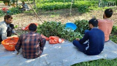 Cultivation of green beans less profitable for second season in J-K