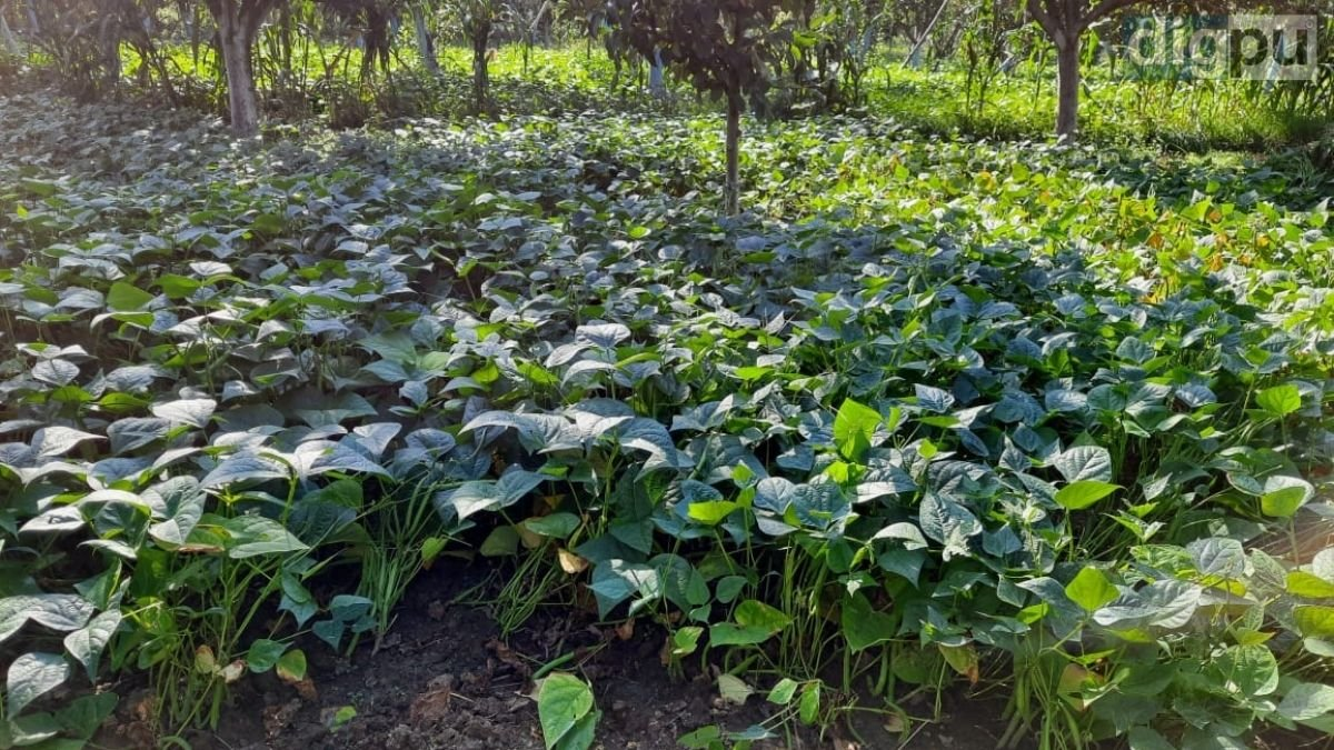 Green beans farmers in J-K see red; second season crop turns less profitable