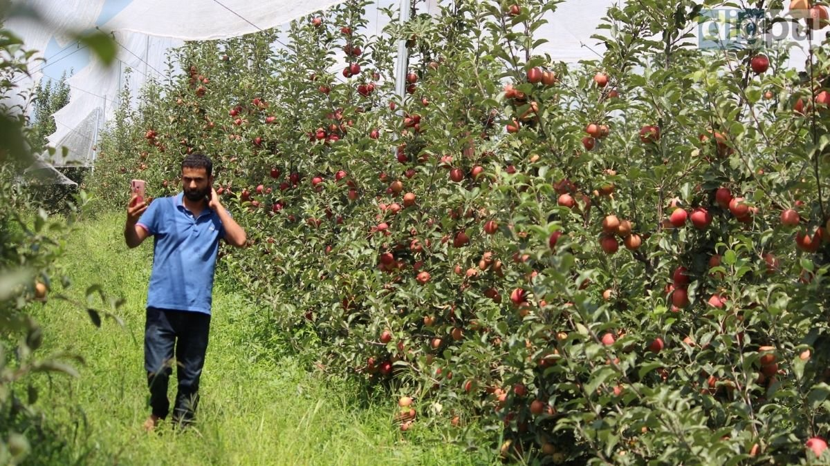 High-density orchards grow in number; Kashmiri apple farmers rue price drop