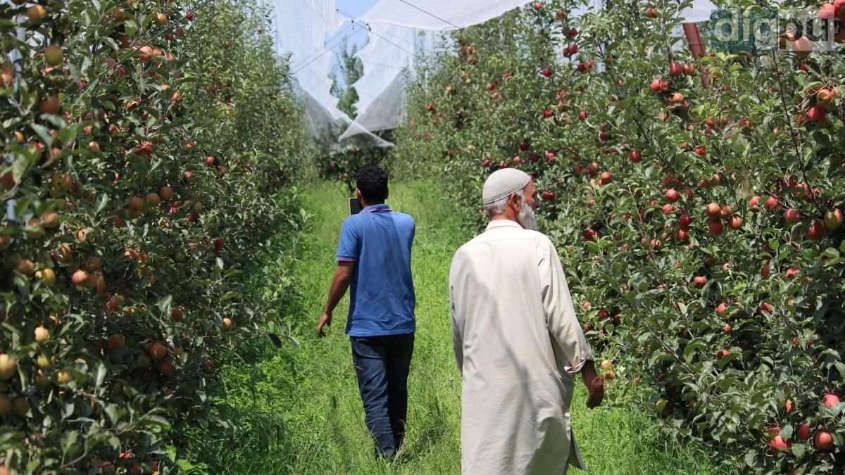 Farmers regaining their grins in Kashmir due to high-density apple cultivation