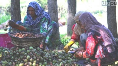 Kashmir's Walnut: Women involved in removing husk (outer green thick layer) from walnuts