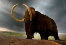 Startup plans to reincarnate the Woolly Mammoth by 2027