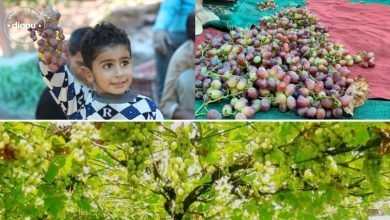 Grape Growers in Kashmir seek government assistance to improve market pricing