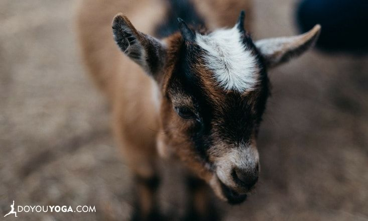 Here's What I Learned From Trying Goat Yoga