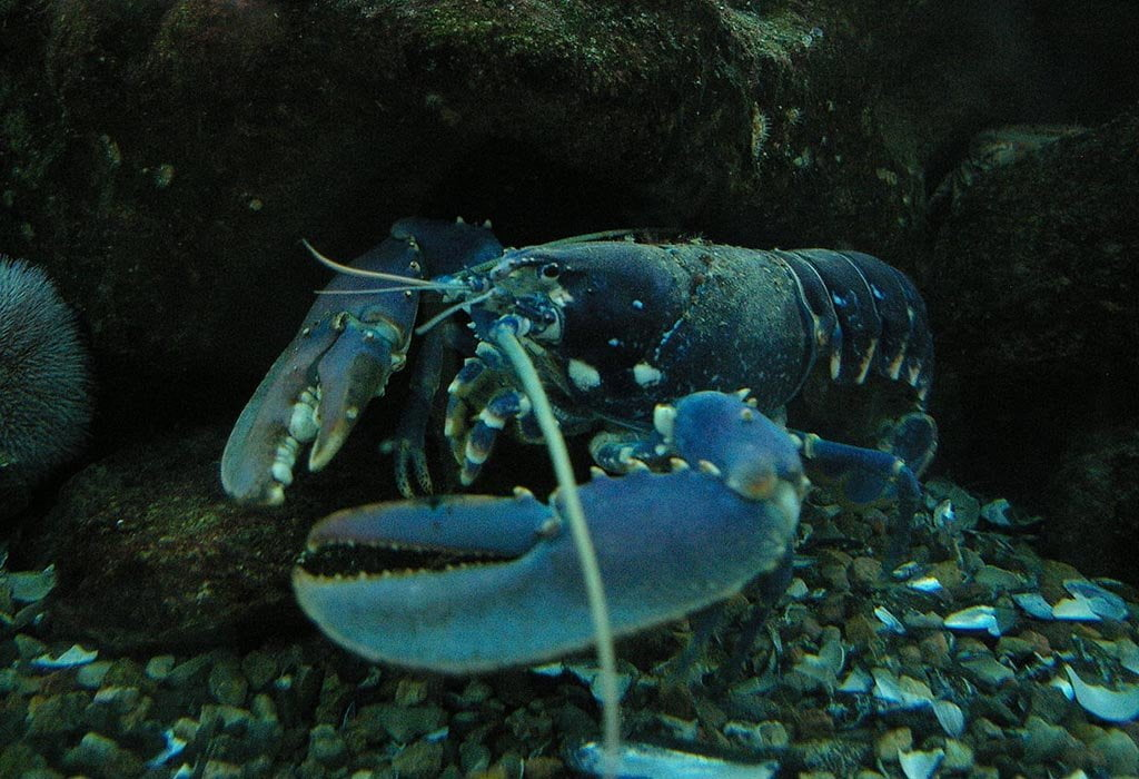 lobsters: not immortal, but young for a long time