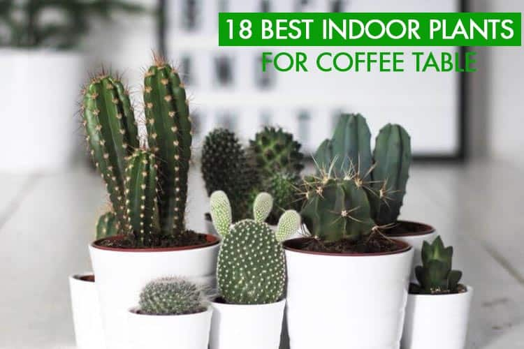 Indoor Plants For Coffee Table