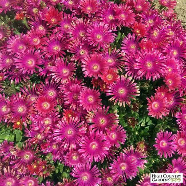 fast growing ground cover plants