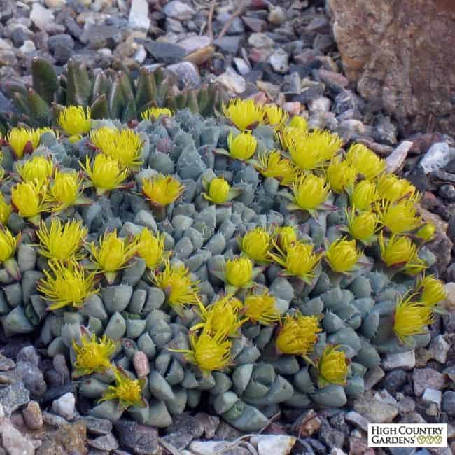 ground cover with yellow flowers