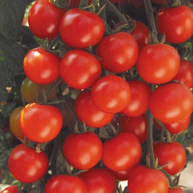 Best Tomatoes for Containers