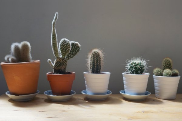 Different shaped potted cacti on a grey background