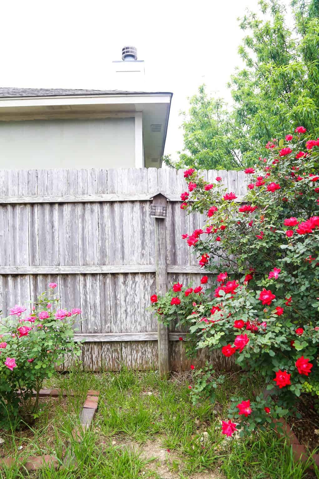 Rose bushes and a backyard raised garden bed