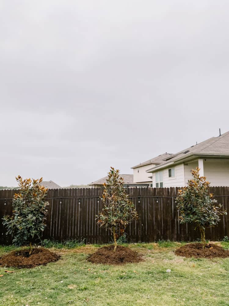 Little Gem Magnolia trees planted in an Austin-area backyard