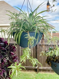 spide plant in a hanging basket