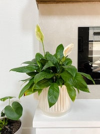 a peace lily in a planter sitting on a fireplace hearth
