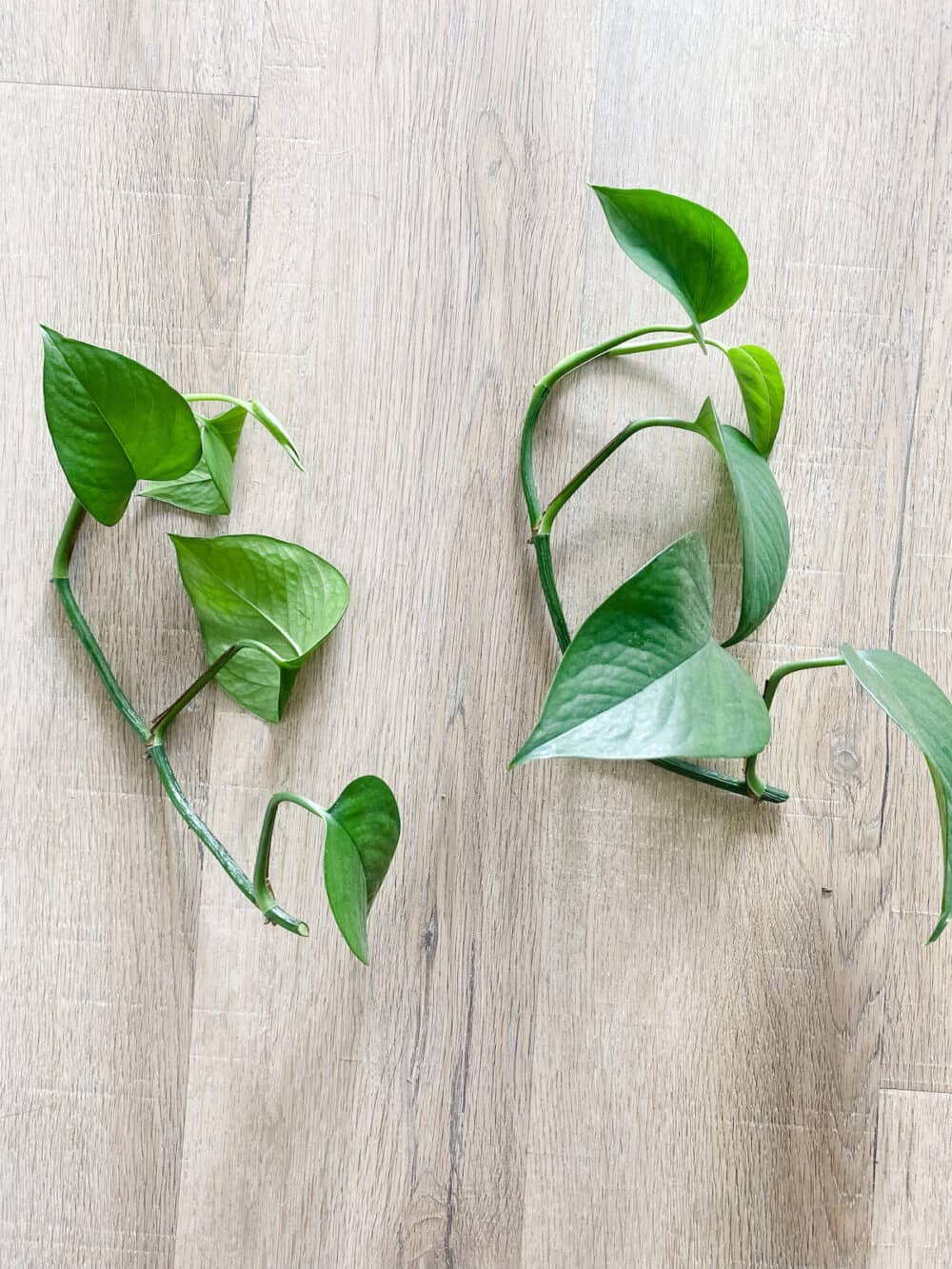 Two pothos plant clippings to be propagated