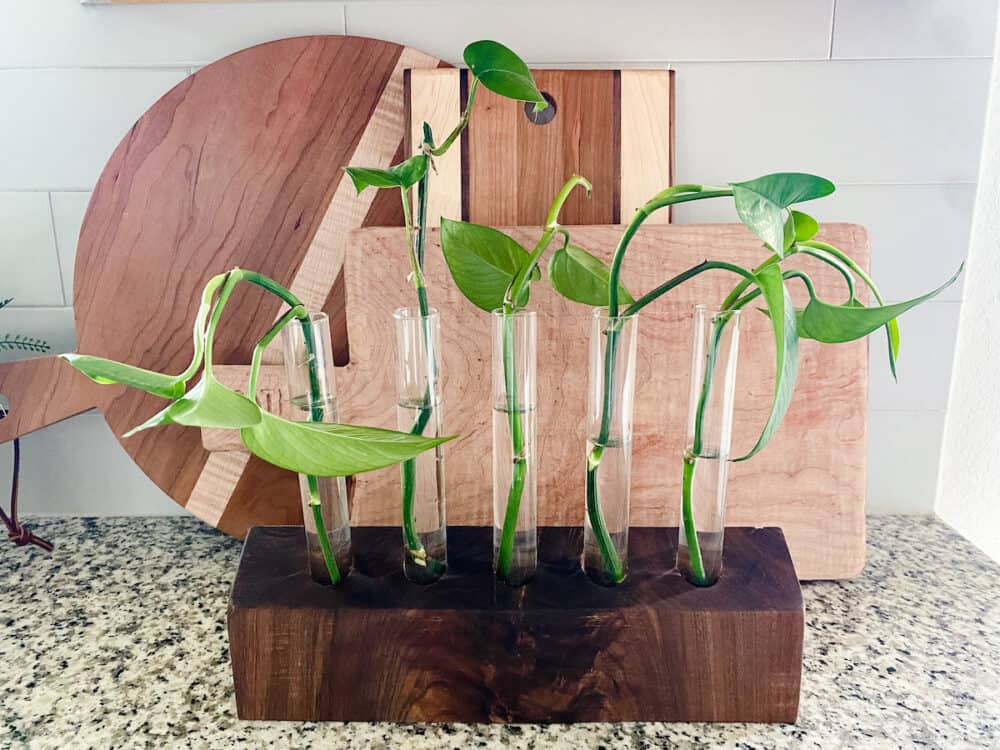 A walnut propagation station with pothos clippings in it