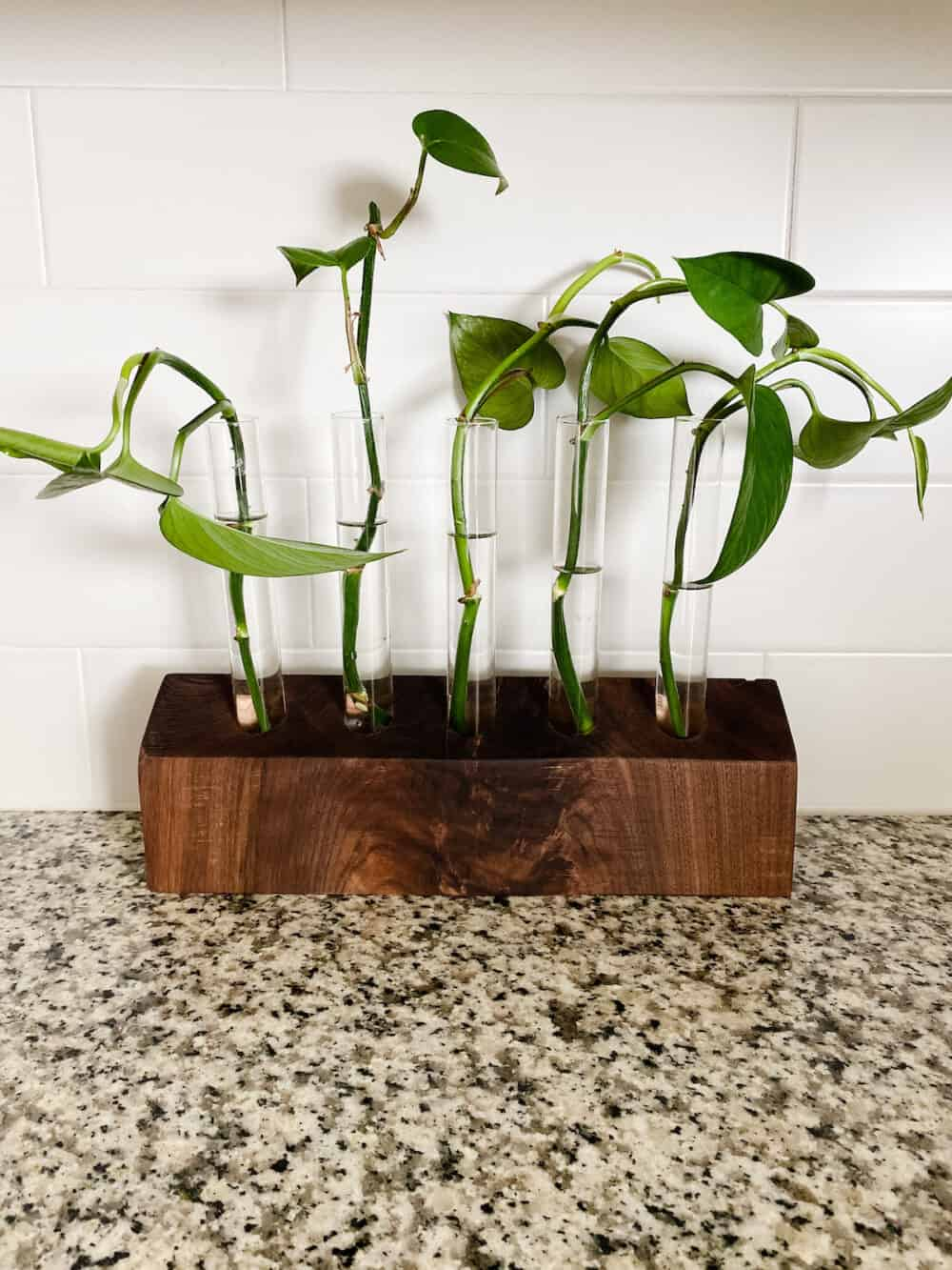 Walnut propagation station with pothos clippings in it