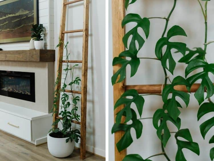 Two images collaged together. On the left is a wooden trellis with a Rhaphidophora Tetrasperma growing on it. On the right is a close-up of the actual plant.