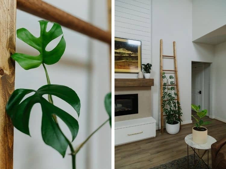 Close up of a Rhaphidophora Tetrasperma leaf and a pulled back view of a living room with a tall plant trellis