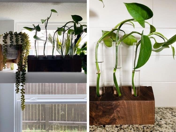 two close up images of a DIY walnut propagation station with pothos clippings