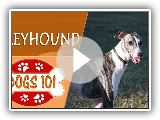 Dogs 101 - GREYHOUND - Top Dog Facts About the GREYHOUND