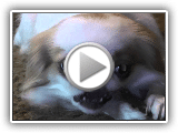 Our Japanese Chin Dogs - With close ups
