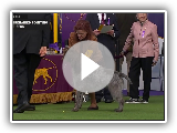 Wirehaired Pointing Griffons | Breed Judging 2020