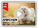 Lowchen - Top 10 Facts