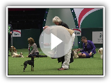 Crufts 2017 | Best of Breed winner Nick Gourley and English Toy Terrier Coco