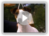 Smooth Fox Terrier - AKC Dog Breed Series