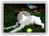 Smooth Fox Terrier, Puppy Jean playing in yard