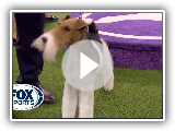'Vinny' the Wire Fox Terrier wins the 2020 Westminster Dog Show terrier group | FOX SPORTS