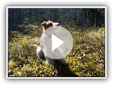Wire Fox Terrier Owe playing