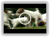 Dogs 101 - Jack Russell