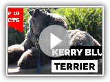 Kerry Blue Terrier - Top 10 Facts