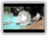 Rocky,Otto and Augustus the landseer swimming