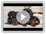 Dachshund puppies 4 - 8 weeks old, compilation.