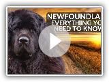 Newfoundland 101! Everything You Need To Know About Owning A Newfoundland Puppy