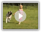 American Akita playing with Child AMERICAN TRIUMPH