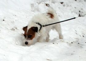 Jack Russell Terrier by the fence