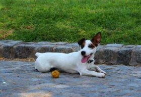 Jack Russell Terrier smooth hair