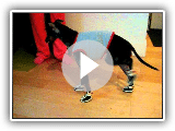 Sir Oxford the Manchester Terrier trying out his new boots!!
