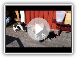 Large munsterlander pups playing in the sun